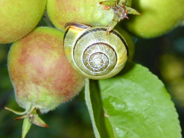 Cepaea nemoralis, in an apple tree, Mayne Island, BC.