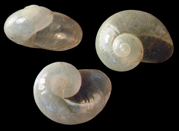 Vitrina pellucida, Western Glass-snail,