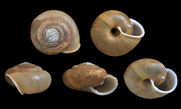 Appalachina sayana, Aylmer, Gatineau, Québec (rgf 02.008.4954), w: 22.1 mm.