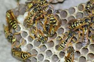 ongedierte bestrijding wespennest