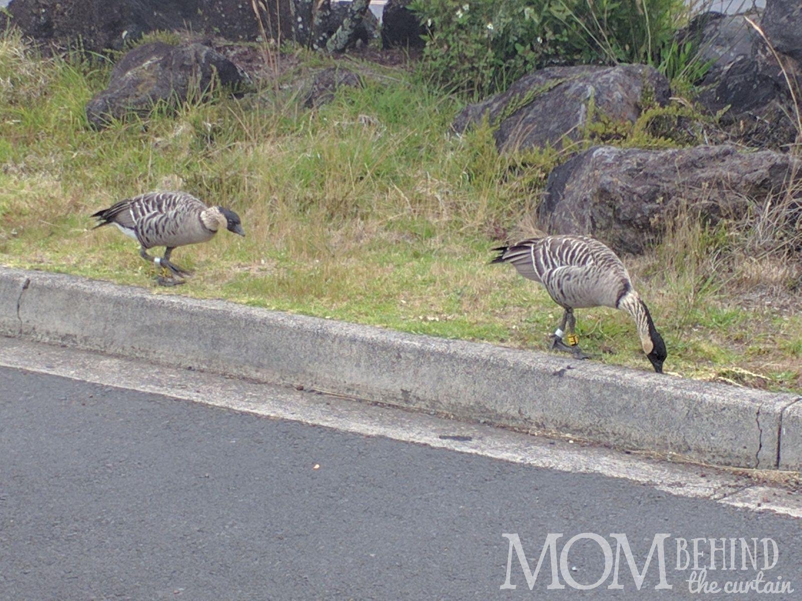NeNe bird Hawaii on Maui Summit and crater drive.