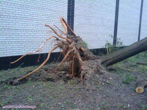 Tree broken from the roots