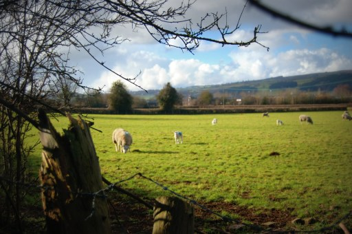 Picture of sheep in a welsh field