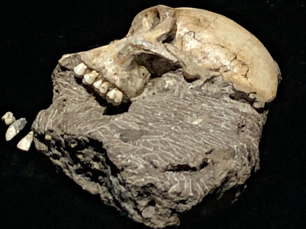 skull of Au Sediba from Origins exhibition
