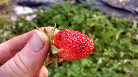 First berry of the season...with a gardener's dirty fingernail for good measure.
