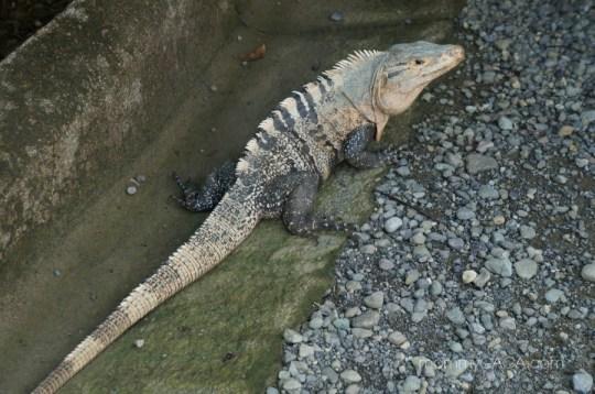 Wild iguana in Manuel Antonio, Costa Rica