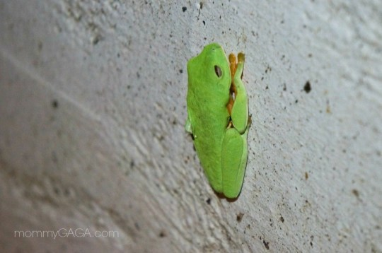 wild green frog, Manuel Antonio, Costa Rica