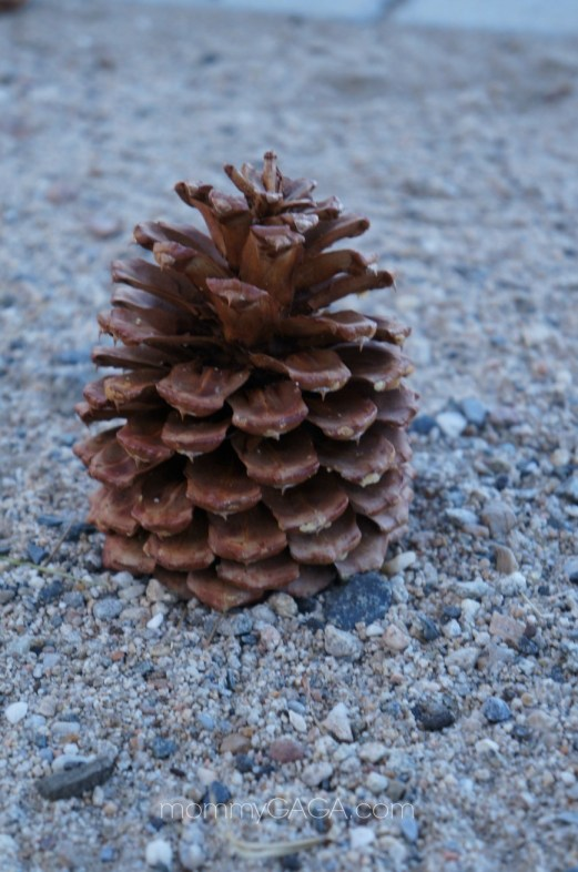 Fallen pine cone, Big Bear Mountains