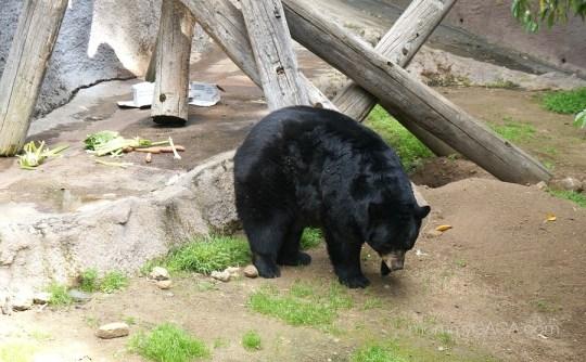 Los Angeles Zoo, Black Bear Exhibit