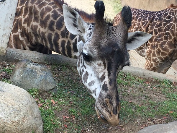 KIND at the Los Angeles Zoo, close up of giraffes