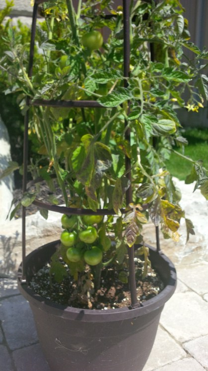 President's Choice sweet cherry tomato plant in cage