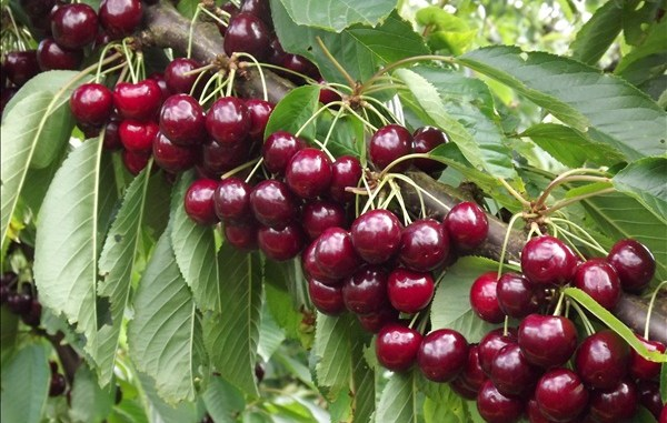 Best Farms to Pick-Your-Own Cherries in the Garden State -