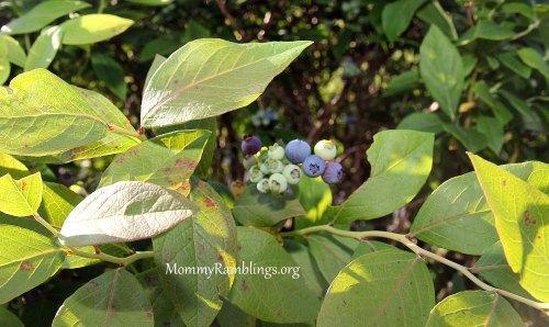 Blueberry-Pound-Cake 10