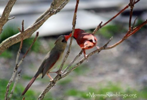 Cardinals Kiss Mommy Ramblings