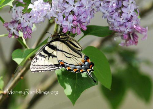 Swallowtail Lilac Mommy Ramblings Blog