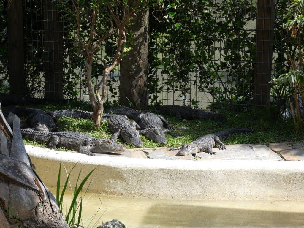 alligators in Florida