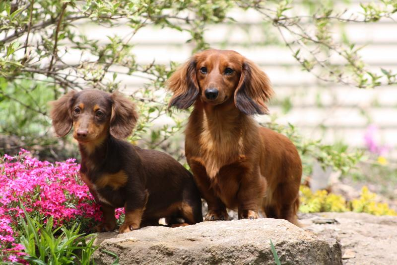 Moms Dachshunds Home