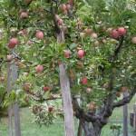 We're Renting an Organic Apple Tree!