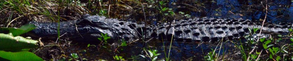 featured-alligatorDSC_5095
