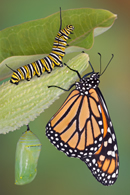 Swan Plant and Monarch Butterflies (2/3)