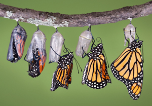 Swan Plant and Monarch Butterflies (3/3)
