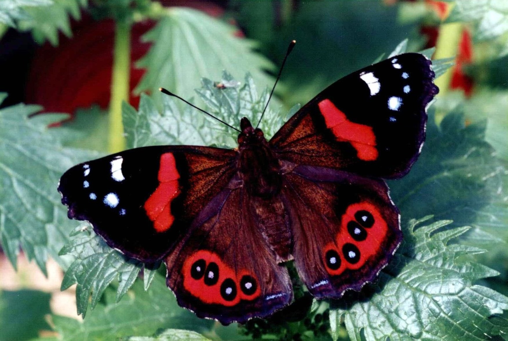 https://i0.wp.com/www.monarch.org.nz/monarch/wp-content/uploads/2009/02/red-admiral.jpg