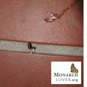Squashed-tachinid-maggots