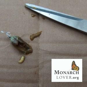 Tachinid fly maggot