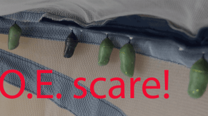 O.E. Scare! Changing the way I raise monarchs