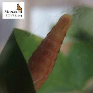 close-up chrysalis