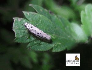 Zeller's ethmia moth