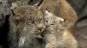 Lynx and cub. Photo: Norbert Rosing.