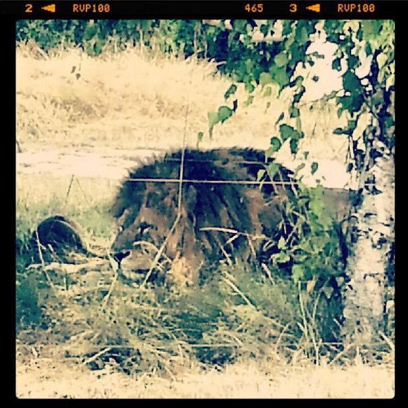 planete-sauvage-lion