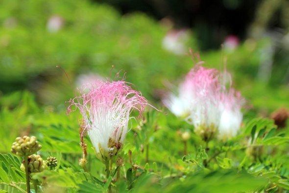 jardin-pamplemousse-fleur-rose