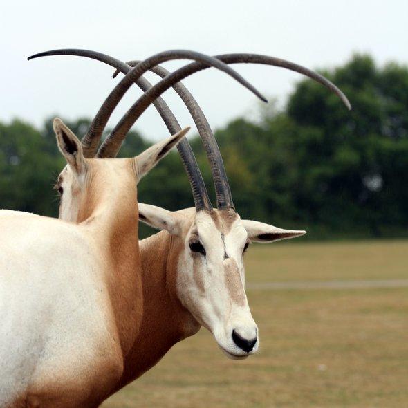 oryx-algazelle
