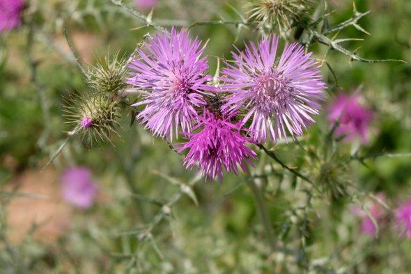 fleurs-cassafieres