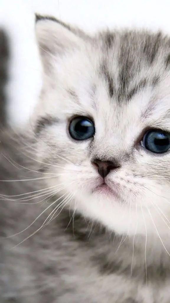 joli chaton blanc et gris monchat ca