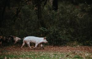 Les cochons retiennent les endroits où trouver à manger