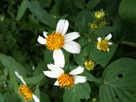 """Bunga Semak Putih """"bunga rumput ajeran"""""""