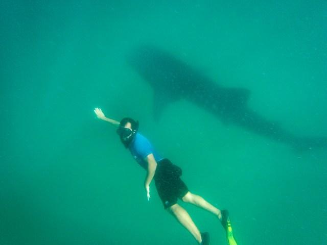 Nadando com Tubarão-baleia