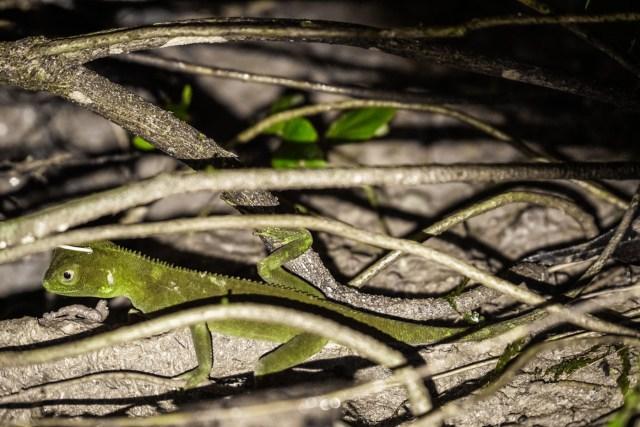 a hidden iguana among