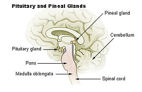 290px-Illu_pituitary_pineal_glands