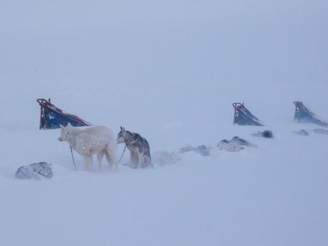 Schlittenhunde im Schneesturm