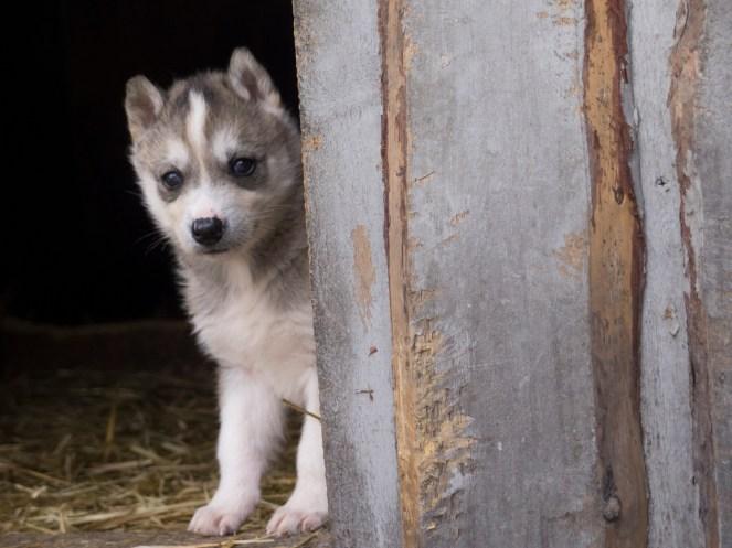 Sibirien Husky Welpe