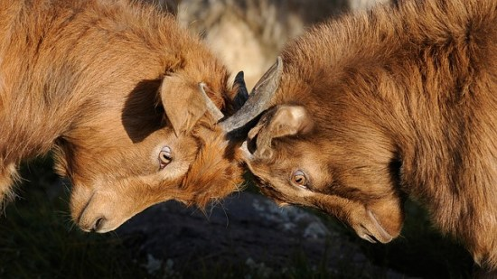 cabras