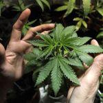 La legge che legalizzerà la cannabis