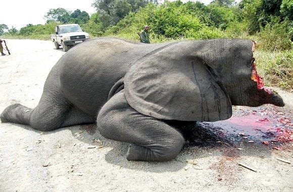 elefanti-avorio