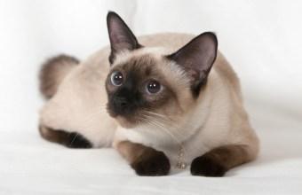 Voglio un cucciolo, adotta un gatto siamese