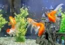 Pesce Rosso, animale domestico poco impegnativo