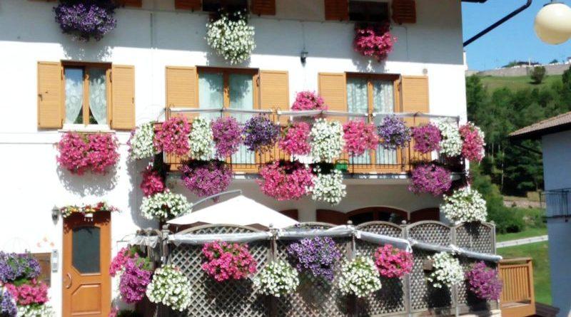 Geranio sul balcone perché non fiorisce: mini guida alla coltivazione